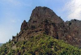 Image of Canary Island pine