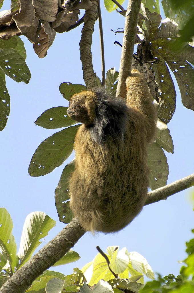 Image of Brazilian Three-toed Sloth