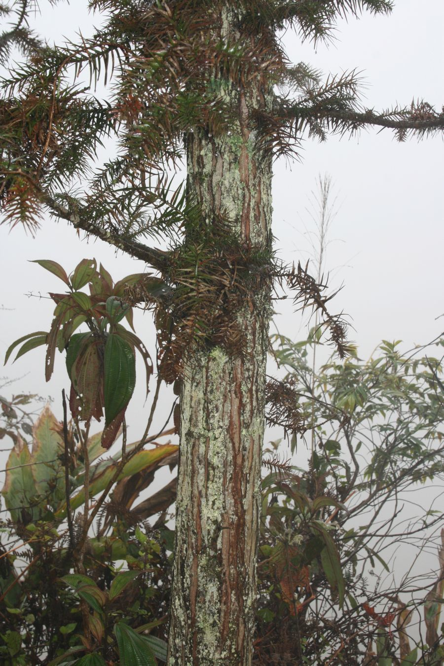 Image of cunninghamia