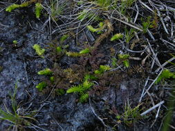 Image of Marsh Clubmoss