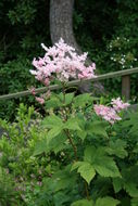 Image of <i>Filipendula glaberrima</i> (Nakai) Nakai