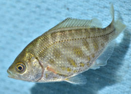 Image of Tule Perch