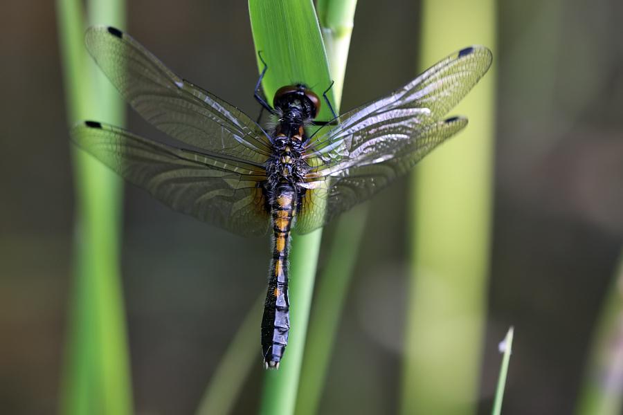 Image of Lilypad Whiteface