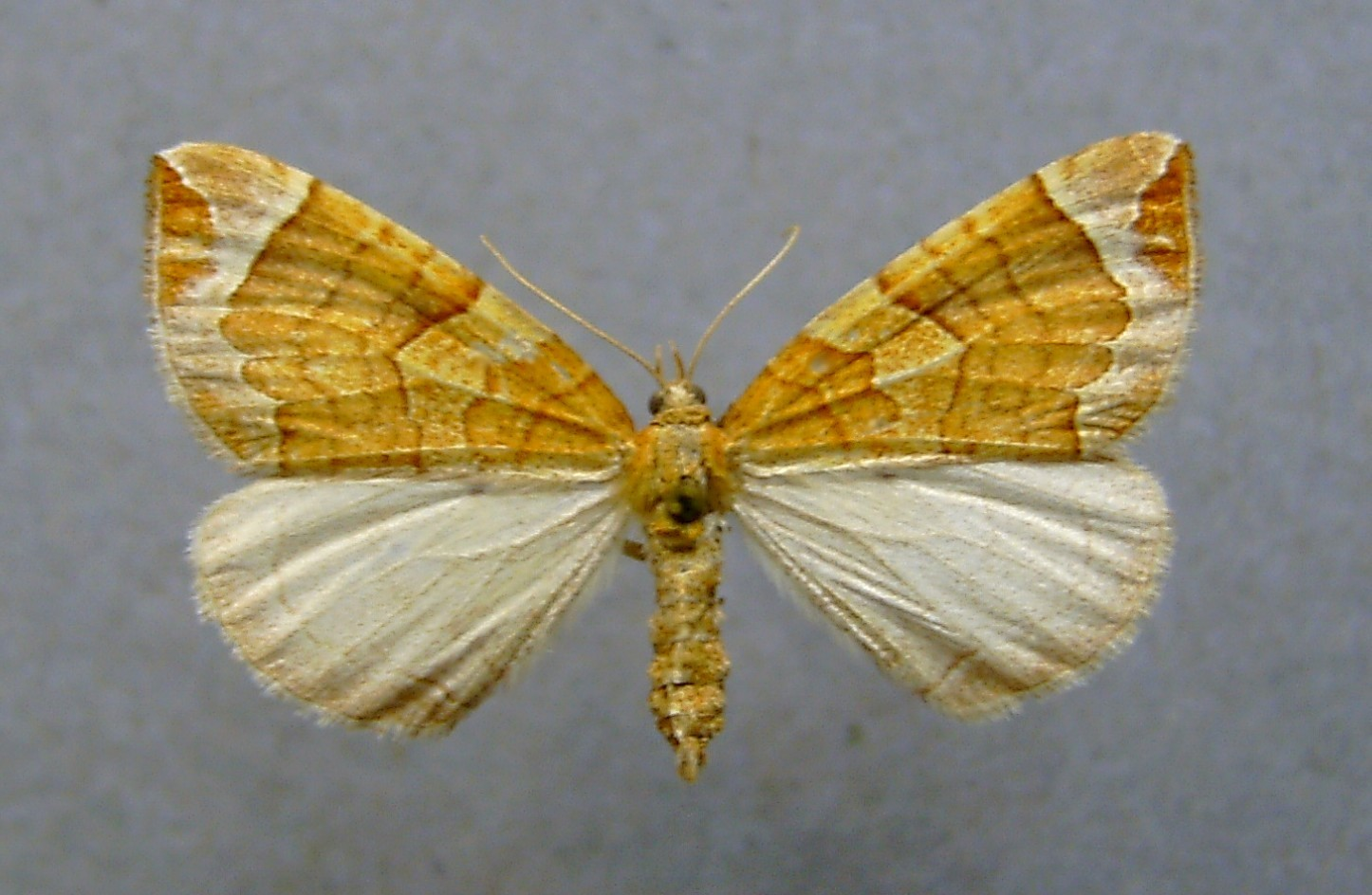 Image of Chevron Moth
