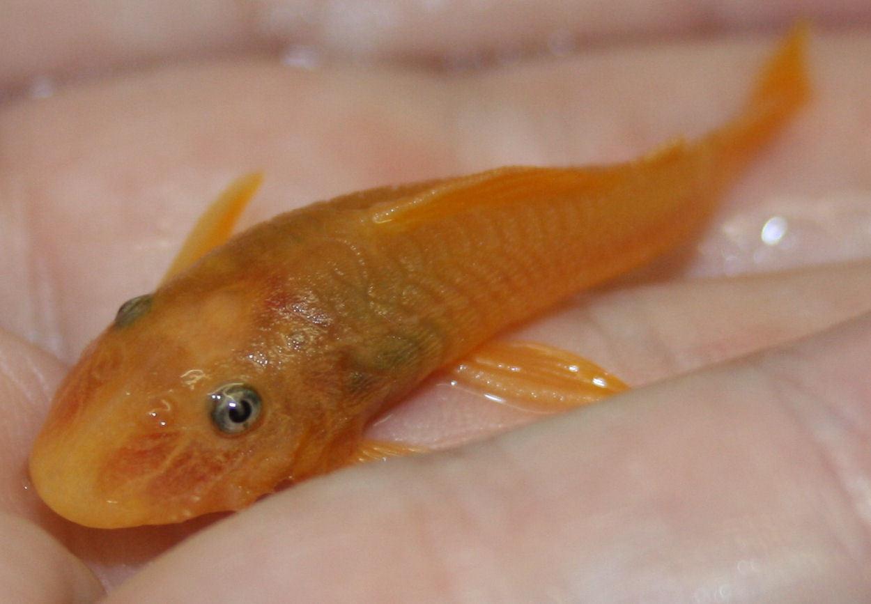 Image of Suckermouthed catfish