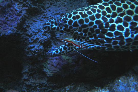 Image of Scarlet cleaner shrimp