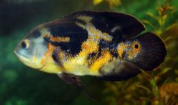 Image of Marble cichlid