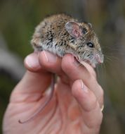 Image of New Holland Mouse