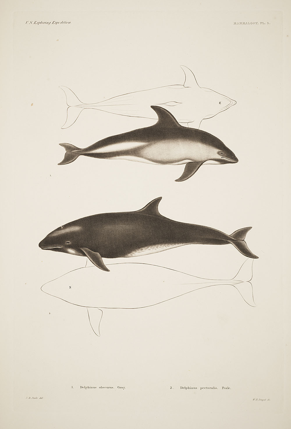 Image of Many-toothed Blackfish
