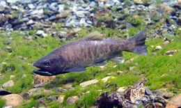 Image of Cherry salmon