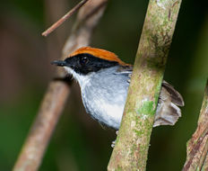 Image of Black-cheeked Gnateater