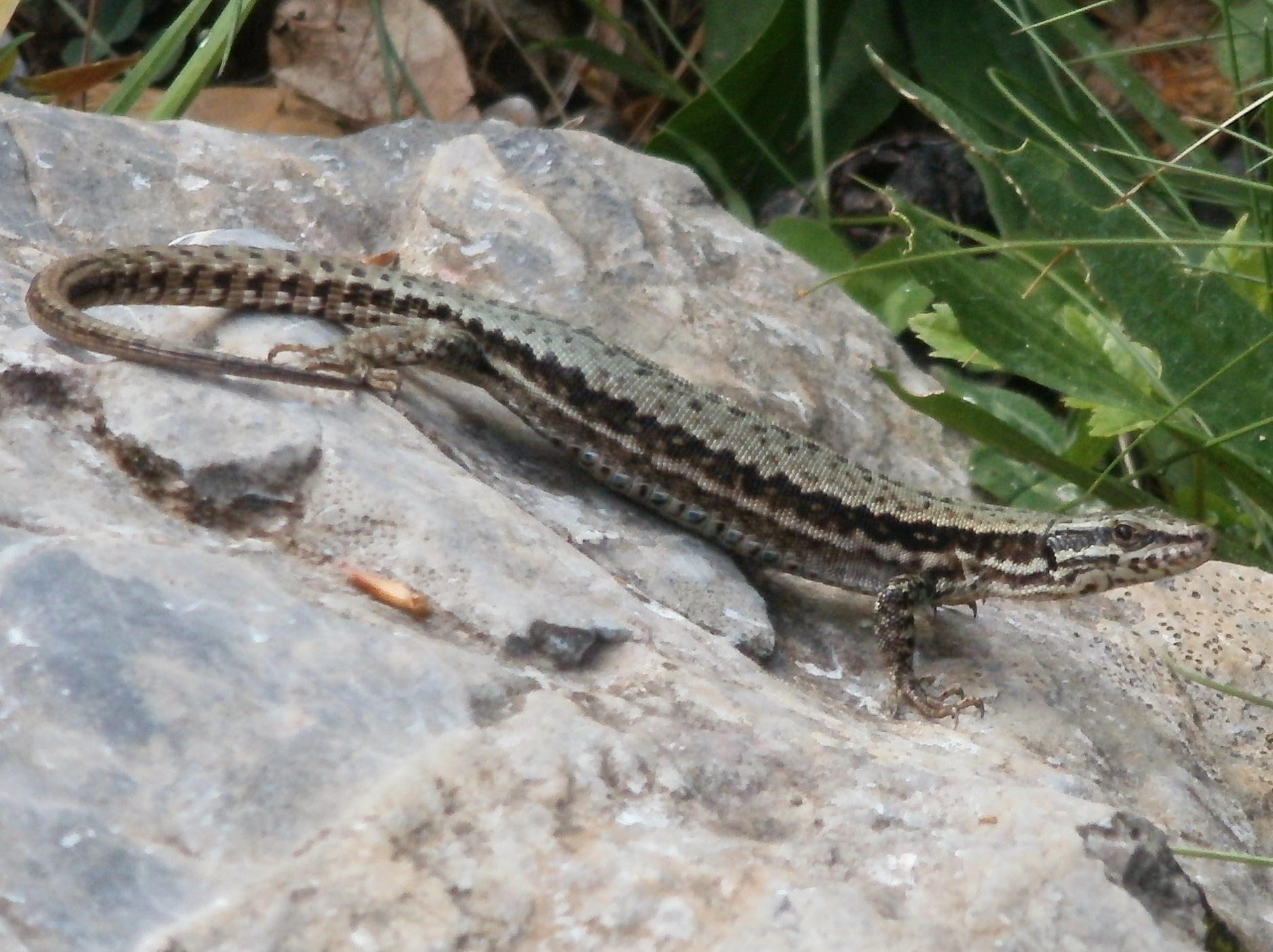 Image of Pyrenean Rock Lizard
