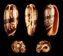 Image of <i>Oliva miniacea</i>