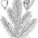 Image of <i>Taxus canadensis</i> Marshall