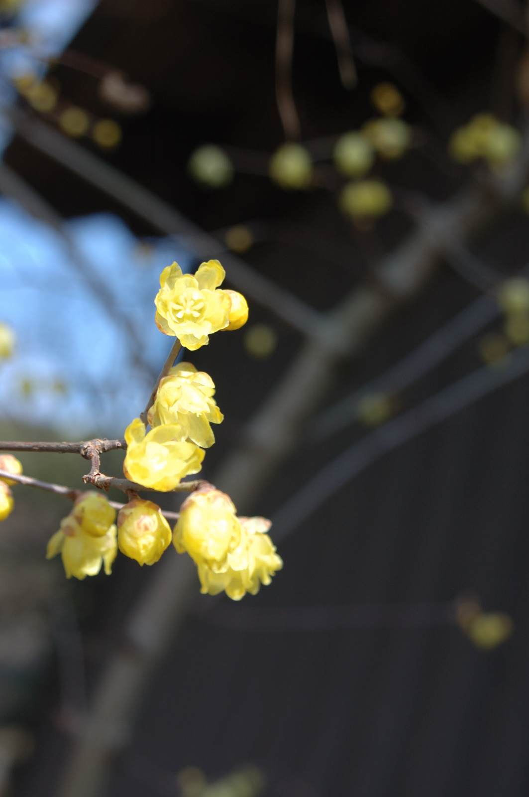 Image of Japanese allspice