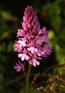 Image of Pyramidal orchid