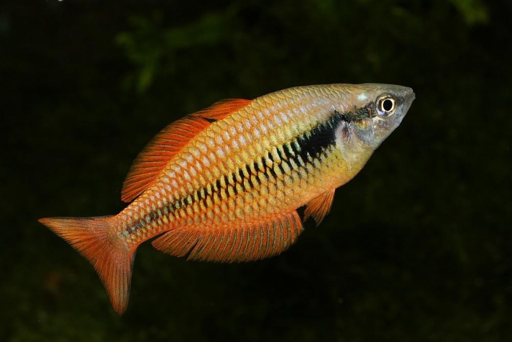 Image of Lake Kurumoi Rainbowfish