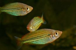 Image of Fly River Rainbowfish