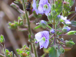Image of Blue Water-speedwell