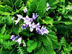 Image of <i>Mandragora autumnalis</i>