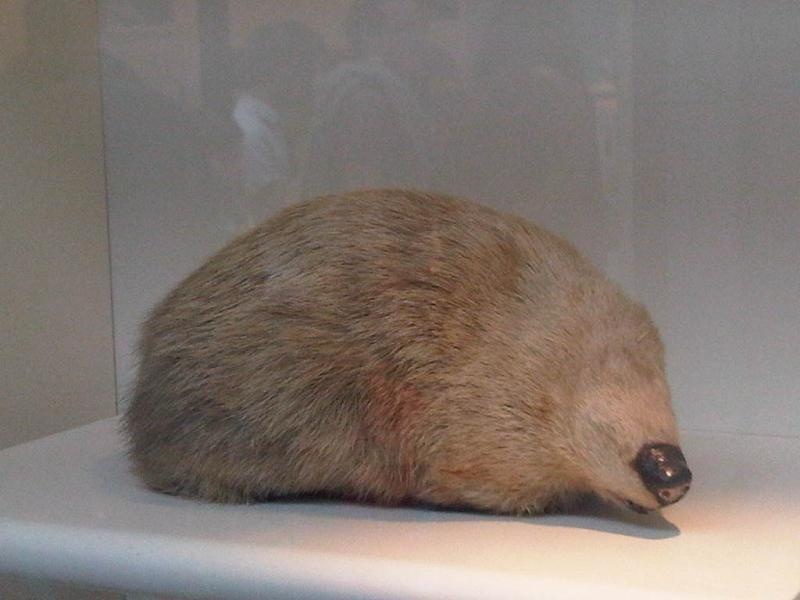Image of Giant Golden Mole