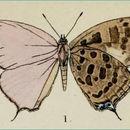 Image of <i>Nilasera opalina</i> Moore 1883