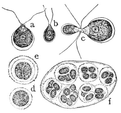 Image of Chlamydomonas