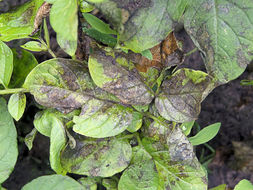Image of <i>Phytophthora infestans</i>