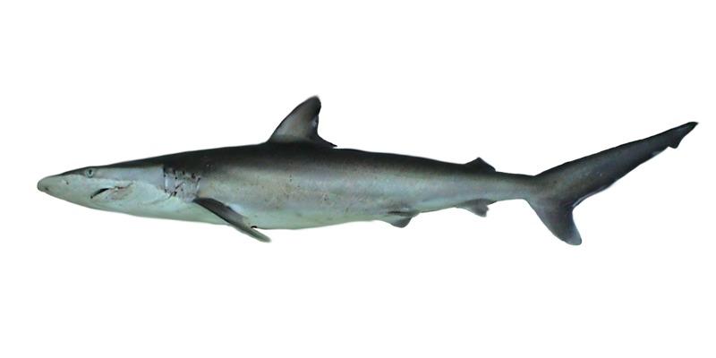 Image of Spinner Shark