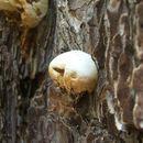 Image of Cryptic Globe Fungus