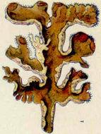 Image of Iceland Lichen