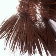 Image of <i>Stemonitis splendens</i>