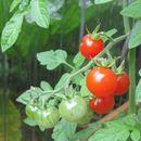 Image of garden tomato