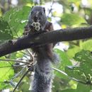 Image of African Giant Squirrel