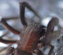 Image of Cellar Spider