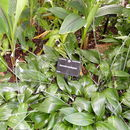 Image of <i>Eucrosia aurantiaca</i> (Baker) Pax