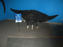 Image of Devil fish