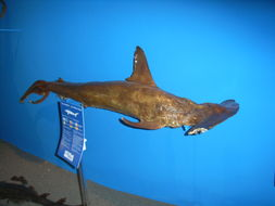 Image of Smooth Hammerhead