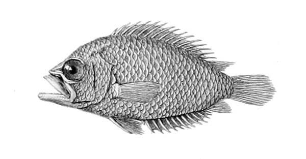 Image of Guyana leaffish