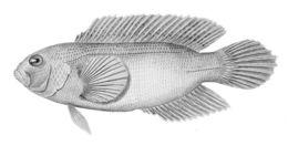 Image of <i>Labracinus cyclophthalmus</i> (Müller & Troschel 1849)