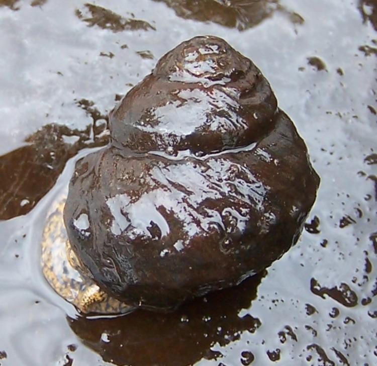 Image of Tulotoma snail