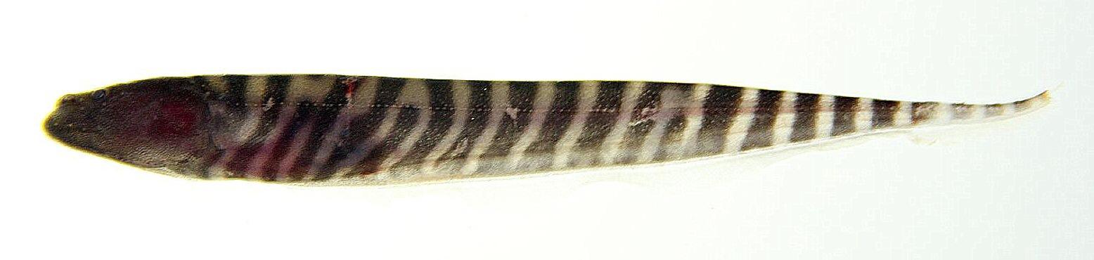 Image of Gymnotus