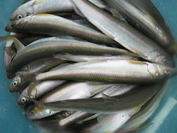 Image of smallmouth smelts
