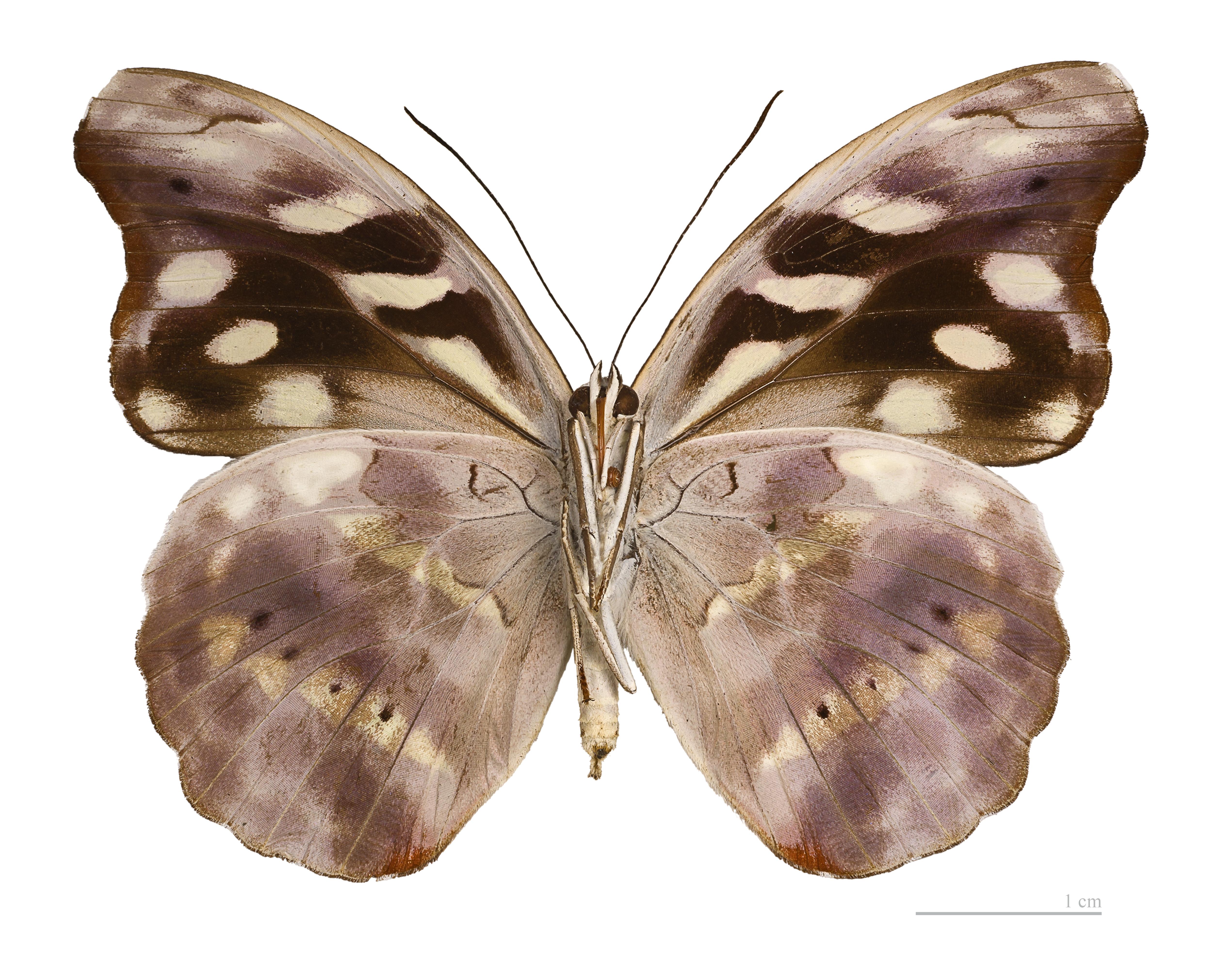 Image of <i>Catonephele acontius</i> Linnaeus 1771
