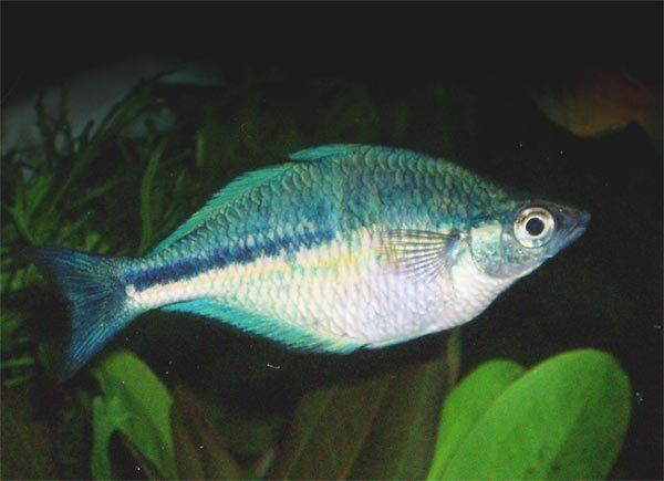 Image of Lake Kutubu Rainbowfish