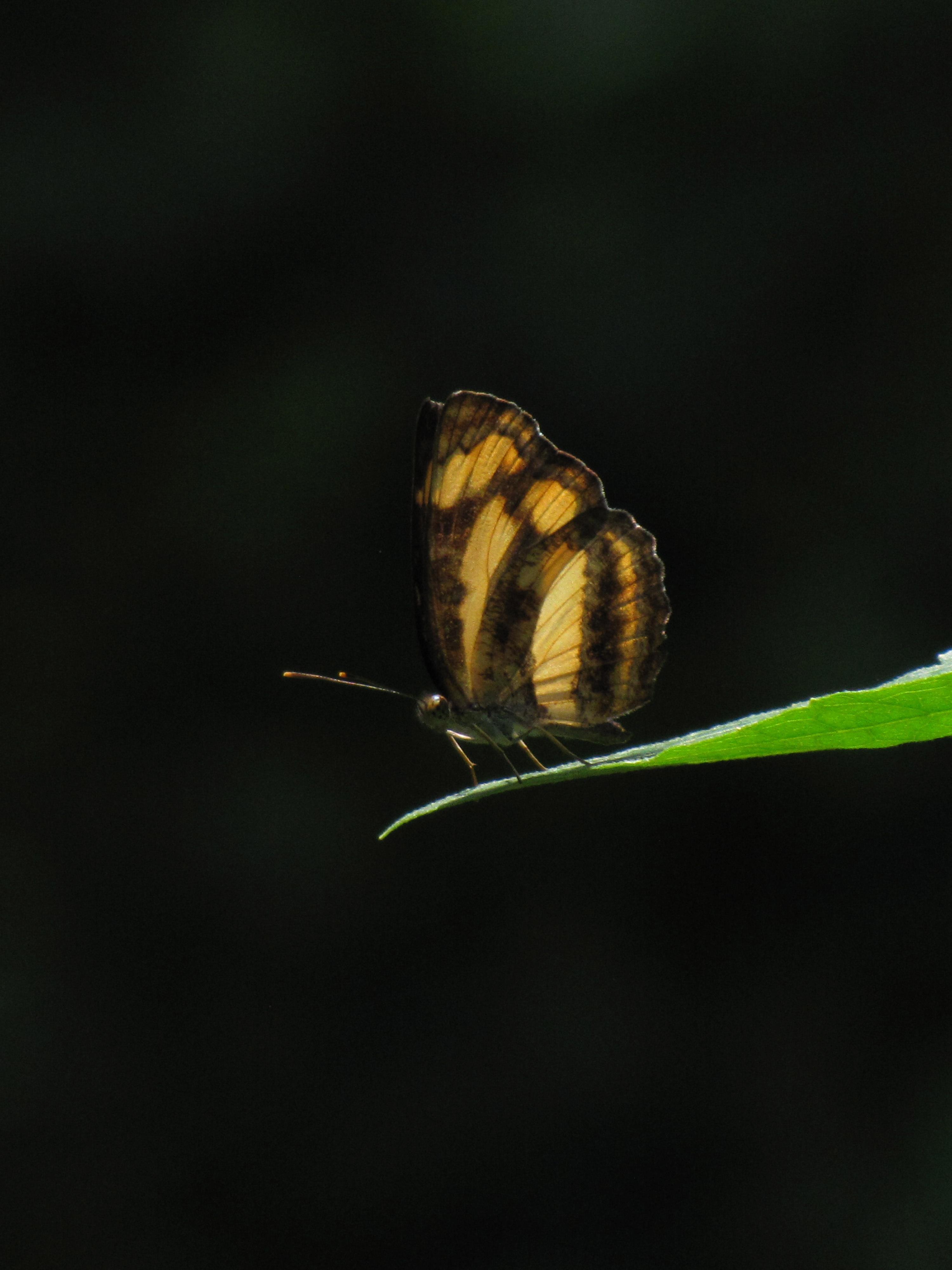 Image of <i>Pantoporia hordonia</i> Stoll 1790