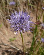 Image of <i>Jasione montana</i> L.