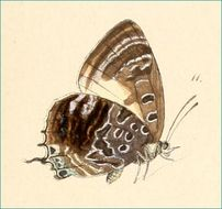 Image of Centaur Oakblue