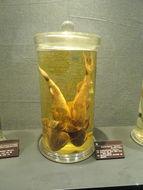 Image of Devil catfish