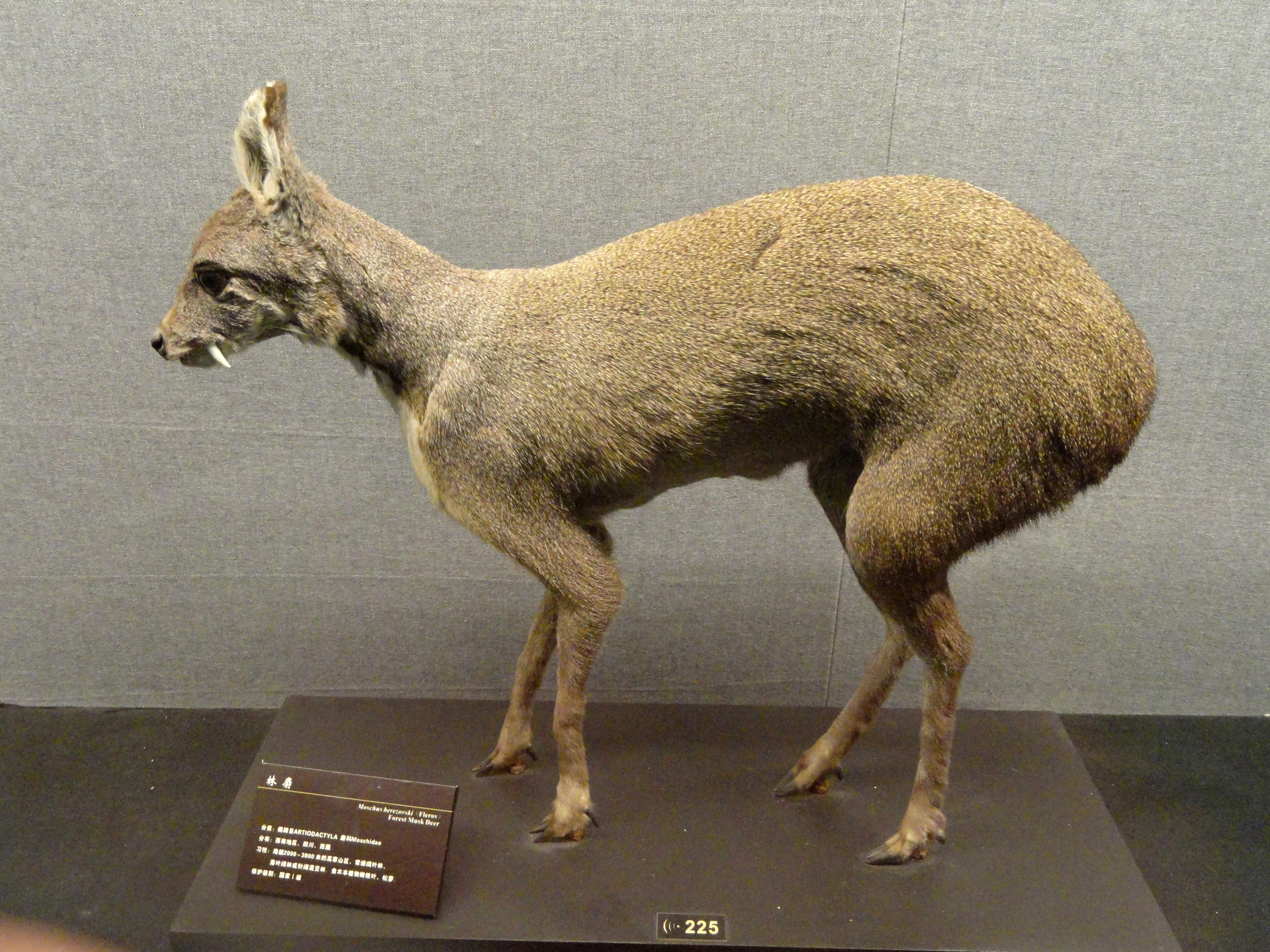Image of Chinese Forest Musk Deer